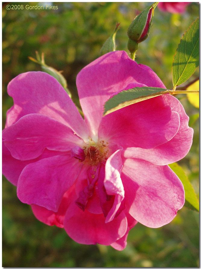 Swamprose
