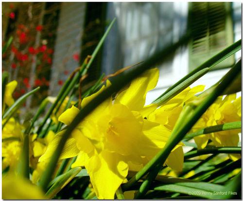 Daffodilsshutter