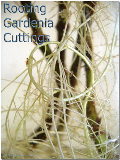 Gardeniaroots2