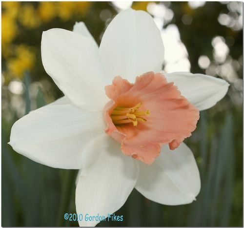 Pinkdaffodil