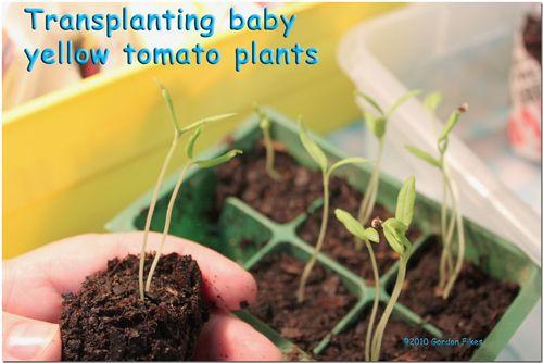 Babyyellowtomatoes