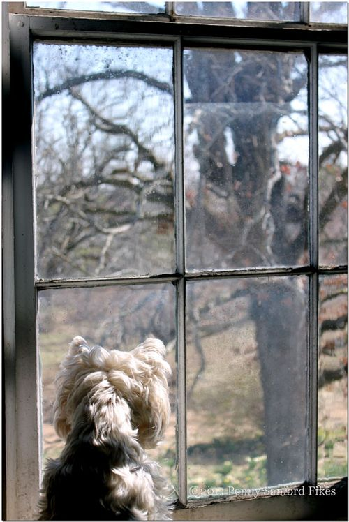 WestieWindows