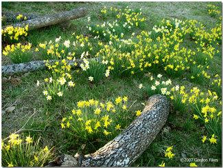 Daffodilslogs
