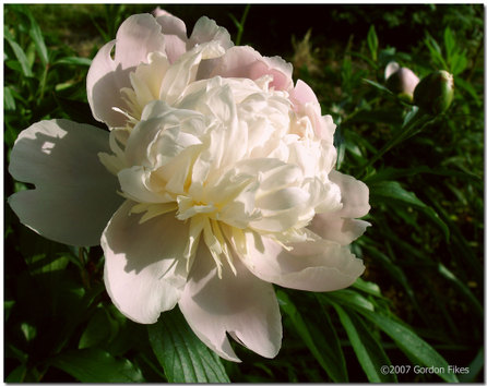Peacefulpeony_2