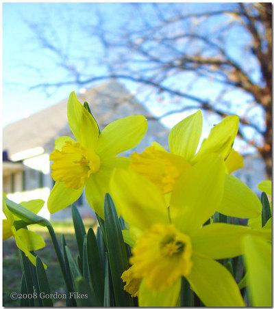 Daffodilshouse
