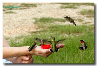 Handfeedhummingbirds3