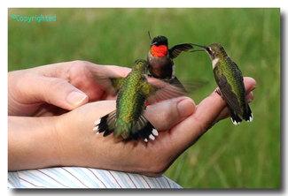 Handfeedhummingbirds4