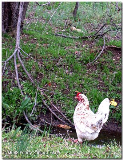 Chickenblainedelta