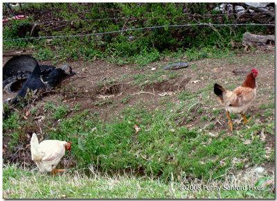 Chickenblainedelta2