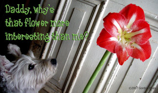 Westieflower_1